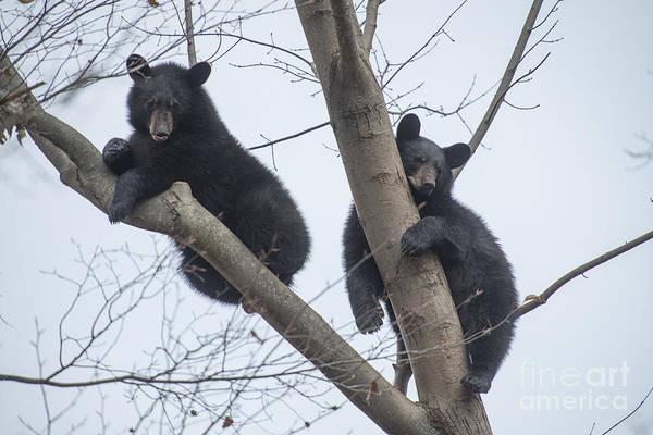 Photograph - Two Black Bears Resting In Tree by Dan Friend