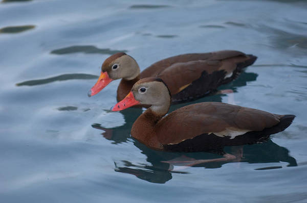 Houston Zoo Photograph - Two Black-bellied Whistling-ducks by Joel Sartore
