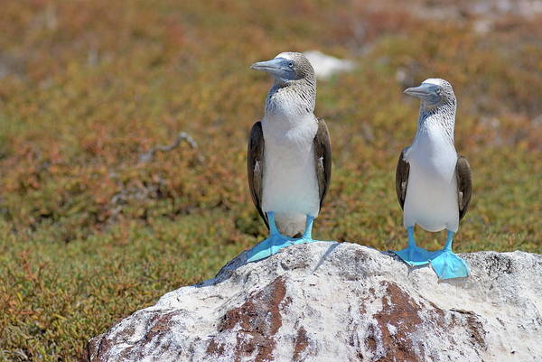 North Seymour Island Photograph - Two Blue-footed Boobies On A Rock by Sami Sarkis