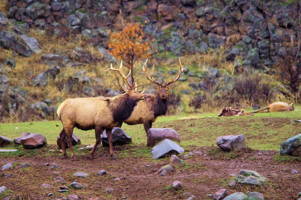 Elk Herd Photograph - Two Bull Elk by Jeff Swan