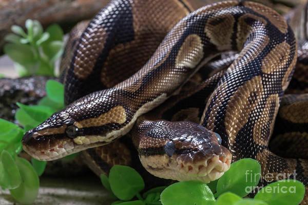 Photograph - Two Burmese Pythons by Les Palenik