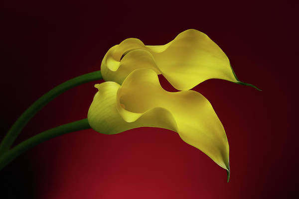 Calla Lillies Photograph - Two Calla Lily Flowers On Red Background by Sergey Taran