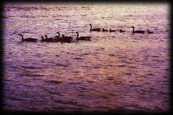 Digital Art - Two Canada Geese Families Swimming Together by Rusty R Smith