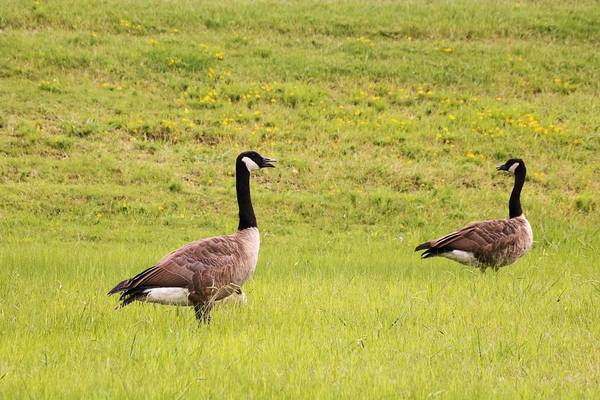 Photograph - Two Canada Geese In Green Field by Sheila Brown