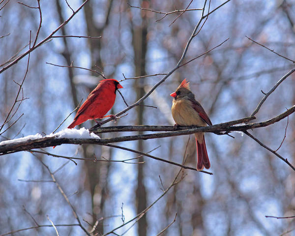 Photograph - Two Cardinals by Angela Murdock