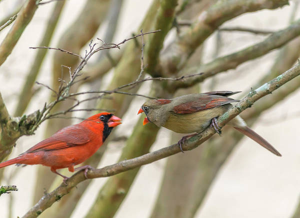 Photograph - Two Cardinals by Keith Smith