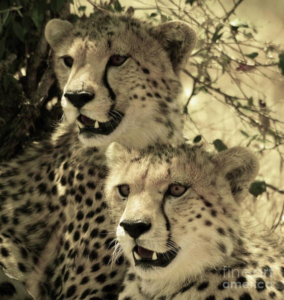Photograph - Two Cheetahs by Frank Stallone