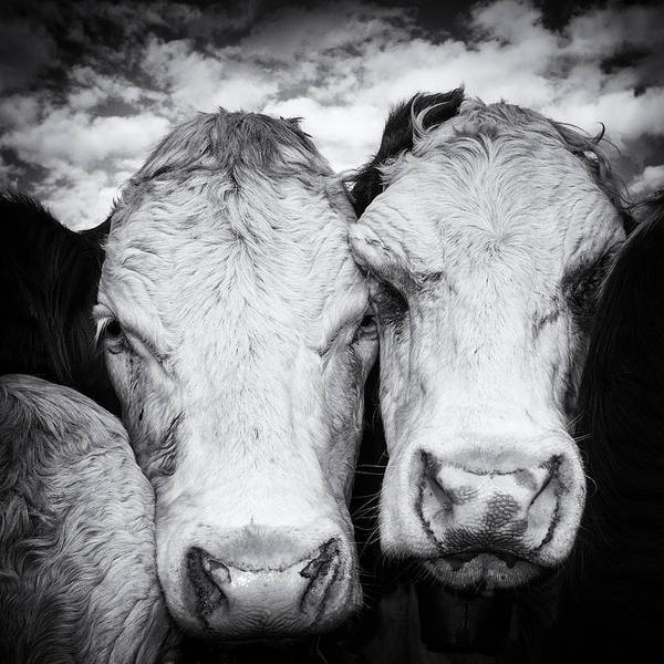 Photograph - Two Cows Black And White by Matthias Hauser