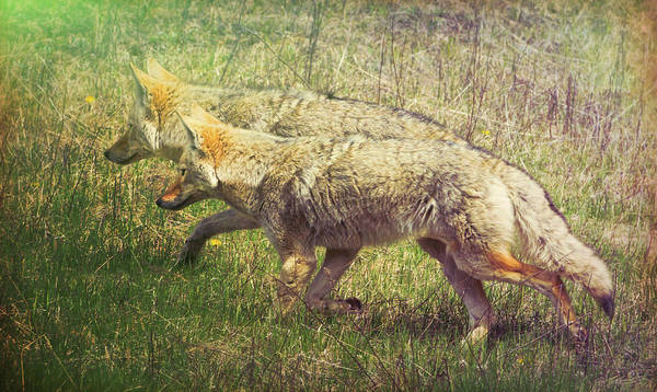 Photograph - Two Coyotes by Natalie Rotman Cote