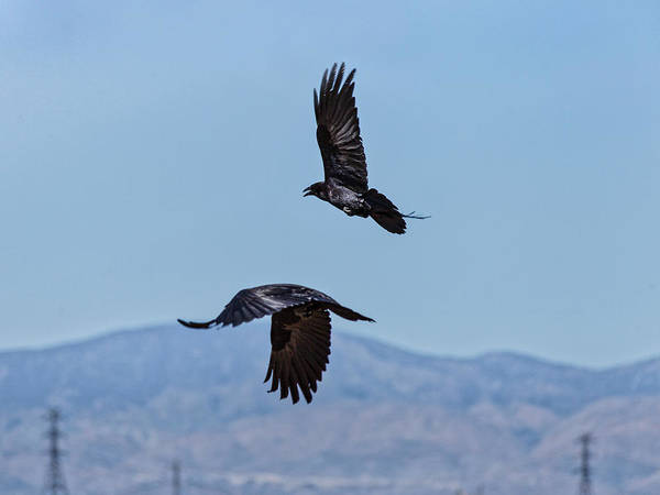Photograph - Two Crows In Flight by Gene Parks