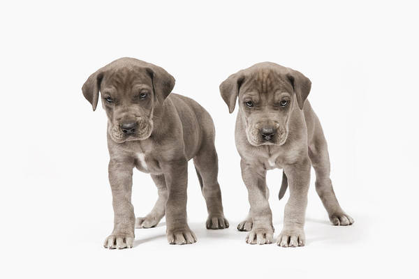 Great Dane Photograph - Two Curious Pedigree Great Dane Puppies by Andrew Bret Wallis