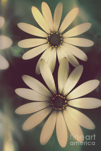 Photograph - Two Daisies Growing In A Spring Garden Field by Jorgo Photography - Wall Art Gallery