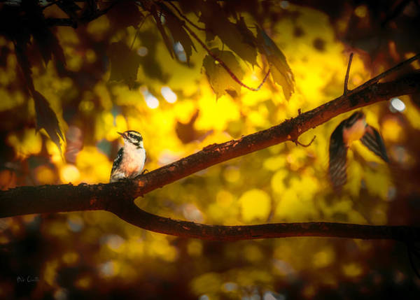 Photograph - Two Downy Woodpeckers by Bob Orsillo