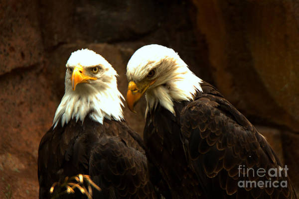 Photograph - Two Eagles by Adam Jewell