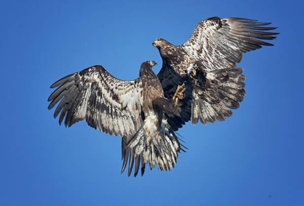 Photograph - Two Eagles And A Herring by Randy Hall