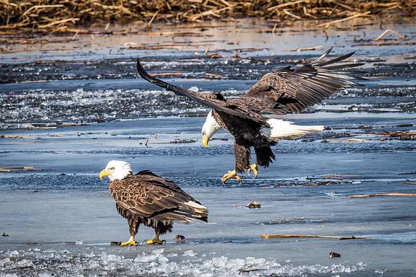 Bif Photograph - Two Eagles by Paul Freidlund