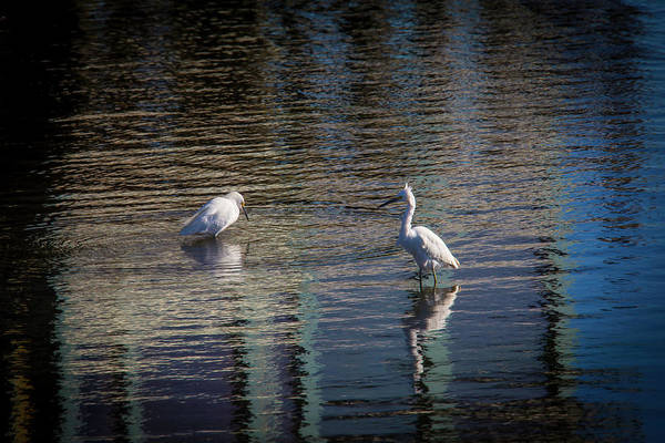 Two Birds Photograph - Two Egret's Fishing by Garry Gay