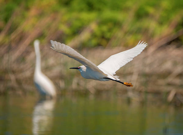 Photograph - Two Egrets For The Price Of One by Loree Johnson