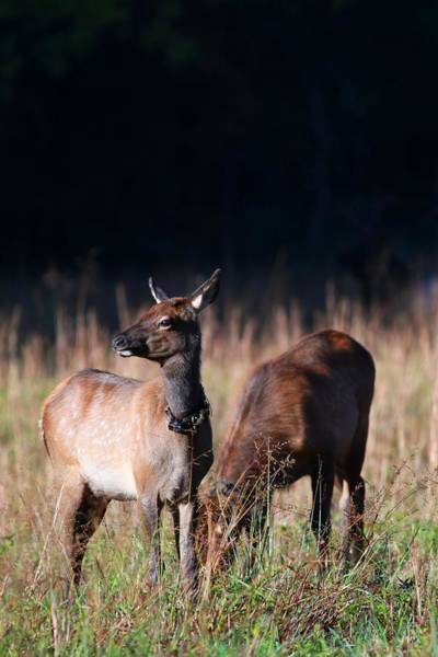 Photograph - Two Elk Calves Hanging Out by Carol Montoya