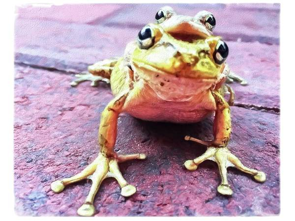 Photograph - Two Frogs by Alice Gipson