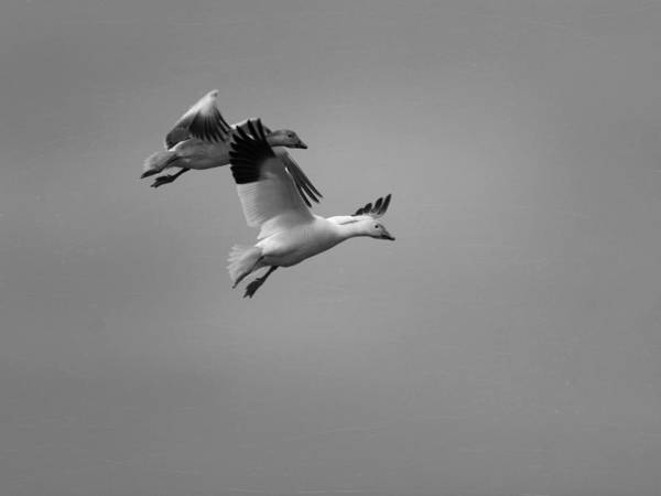 Photograph - Two Geese Feet Down by Charles McKelroy