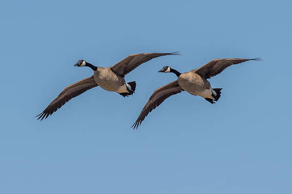 Gander Photograph - Two Geese by Paul Freidlund