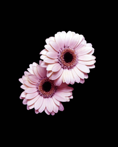 Photograph - Two Gerberas On Black by Johanna Hurmerinta