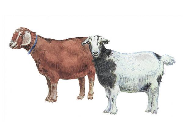 Wall Art - Painting - Two Goats Watercolor Illustration  by Irina Sztukowski