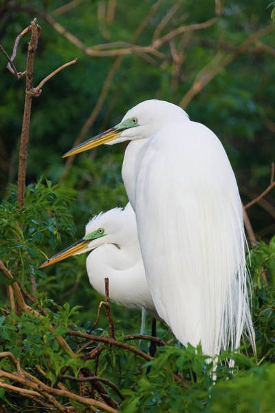 Photograph - Two Great Egrets by Dawn Currie