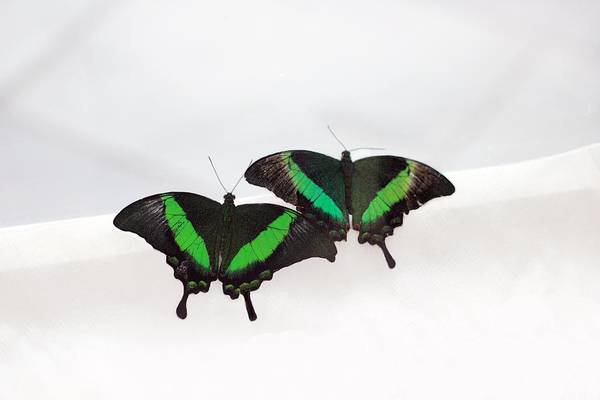 Photograph - Two Green-banded Swallowtails by Angela Murdock