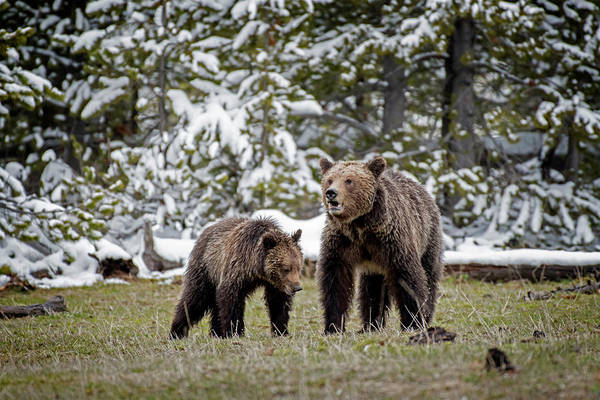 Photograph - Two Grizzly Bears by Scott Read