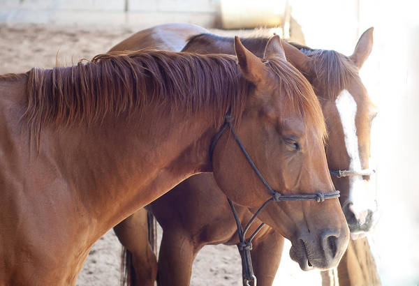 Photograph - Two Horses by Brian Kinney