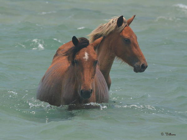 Photograph - Two Horses Near Shackleford by Dan Williams