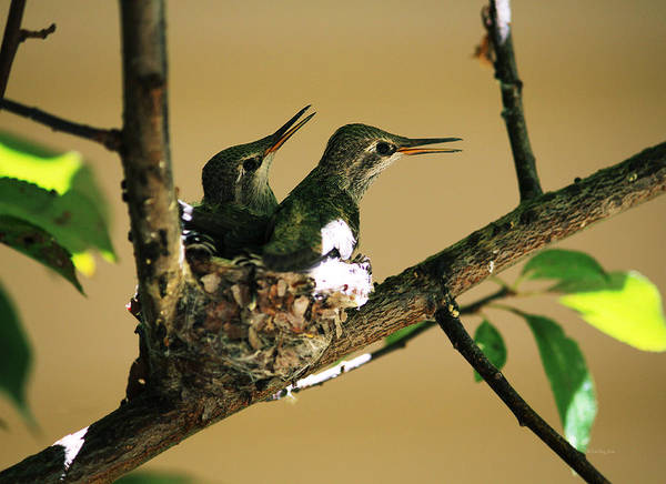 Photograph - Two Hummingbird Babies In A Nest 5 by Xueling Zou
