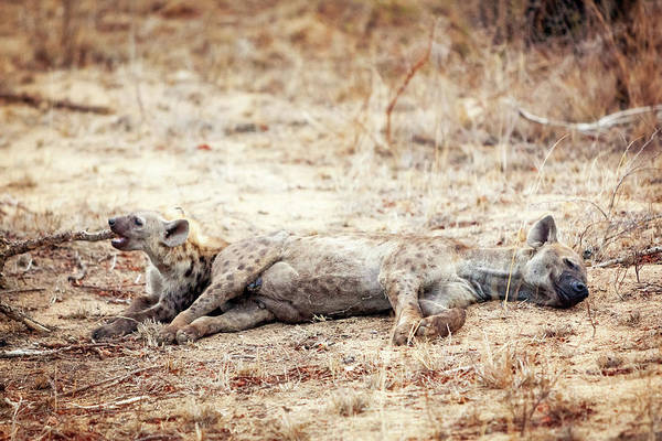 Hyena Photograph - Two Hyena Cubs Lying Together by Susan Schmitz