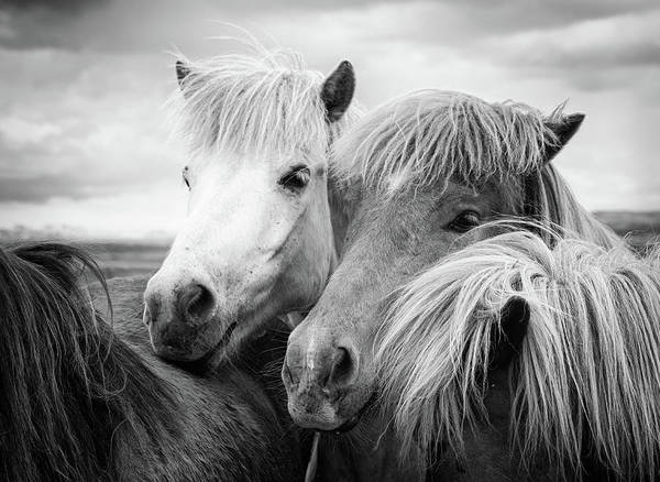 Wall Art - Photograph - Two Icelandic Horses Black And White by Matthias Hauser