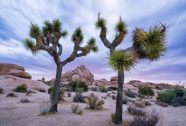 Photograph - Two Joshua Trees At Sunrise In Joshua Tree National Park by Dave Dilli