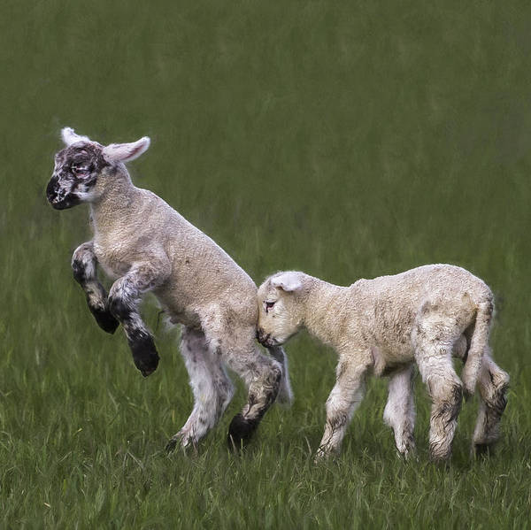 Photograph - Two Lambs by Belinda Greb