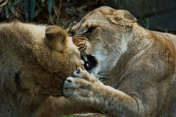 Photograph - Two Lions Playing by Stuart Litoff