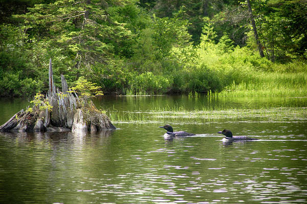 Wall Art - Photograph - Two Loons Near Old Stump by Justin Mountain
