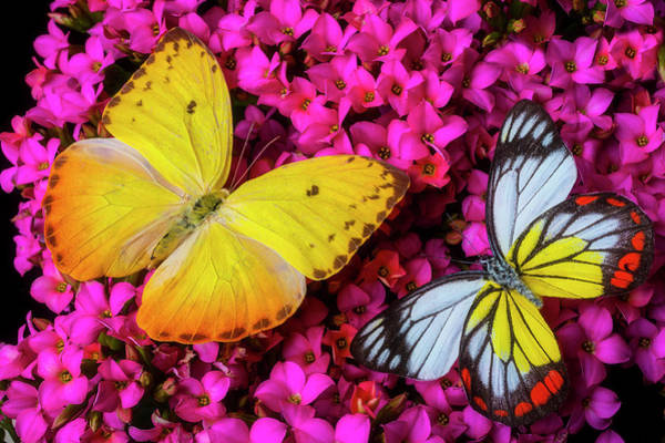 Photograph - Two Lovely Butterflies On Pink Flowers by Garry Gay