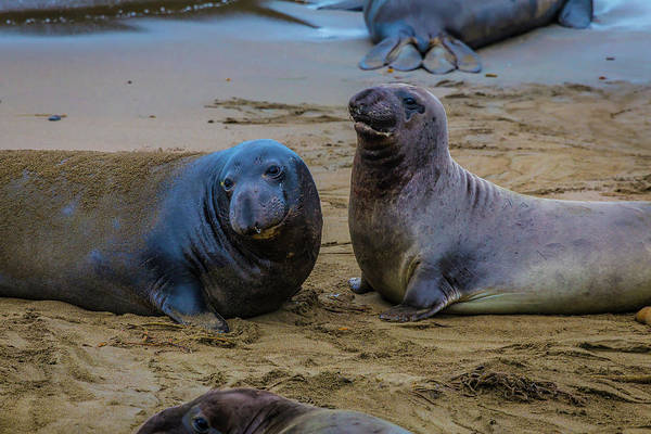 Cambria Photograph - Two Male Elephant Seals by Garry Gay