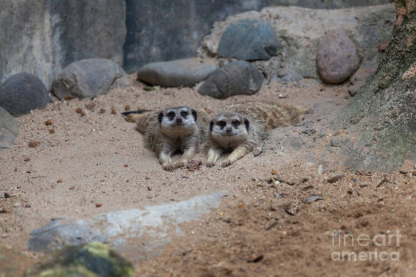 Photograph - Two Meerkat Looking Directly To The Camera by PorqueNo Studios