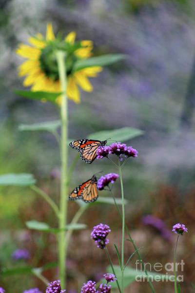 Photograph - Two Monarch Butterflies And Sunflower 2011 by Karen Adams