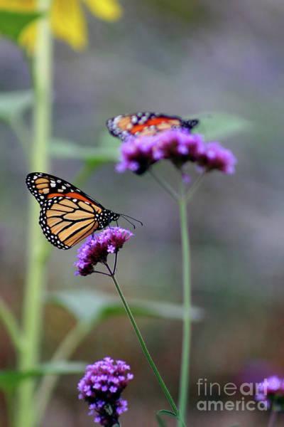 Photograph - Two Monarchs On Verbena by Karen Adams