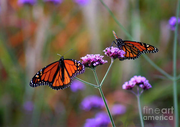 Photograph - Two Monarchs Sharing 2011 by Karen Adams