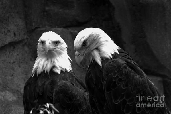 Photograph - Two Montana Eagles Black And White by Adam Jewell