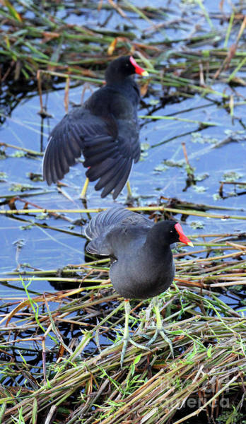 Photograph - Two Moorhens by Jennifer Robin