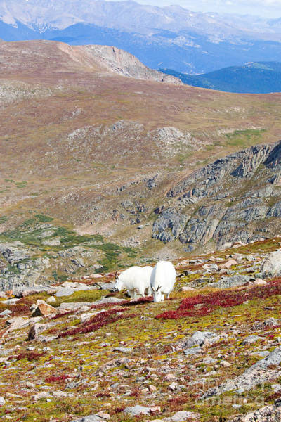 Photograph - Two Mountain Goats On Mount Bierstadt In The Arapahoe National Fores by Steve Krull