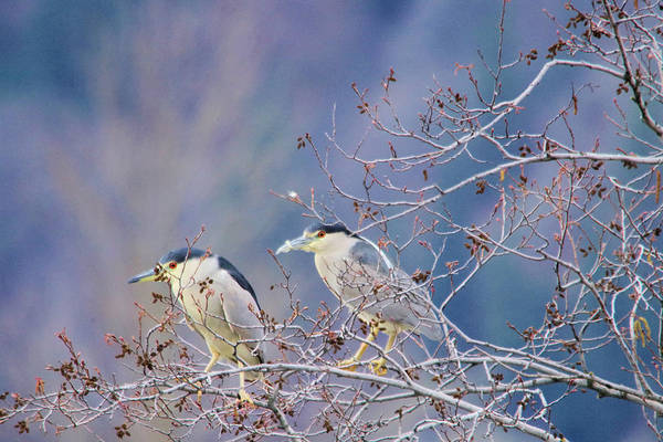 Night-heron Photograph - Two Night Herons by Jeff Swan